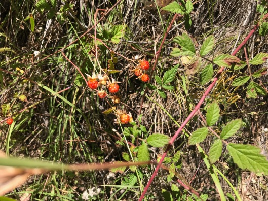 Native_Raspberry